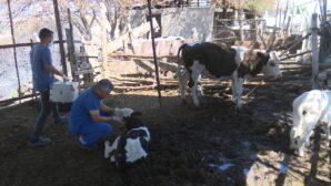 Büyükşehir veterinerleri yangın bölgesinde yaralanan hayvanları tedavi ediyor